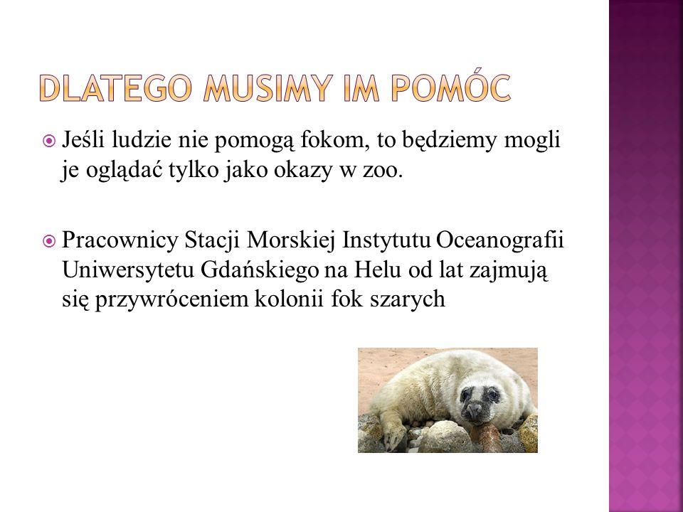  Dzisiaj bałtyckich fok jest około 20 000, to zaledwie 20% tego co było 100 lat temu.