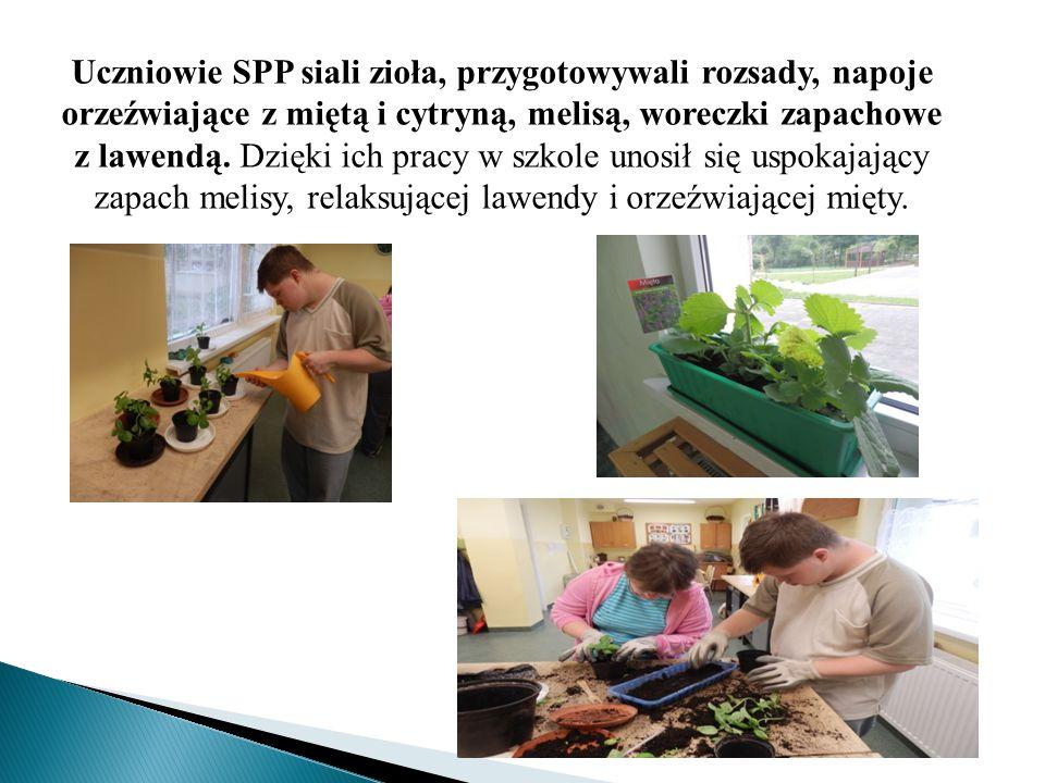 Uczniowie SPP siali zioła, przygotowywali rozsady, napoje orzeźwiające z miętą i cytryną, melisą, woreczki zapachowe z lawendą. Dzięki ich pracy w szk