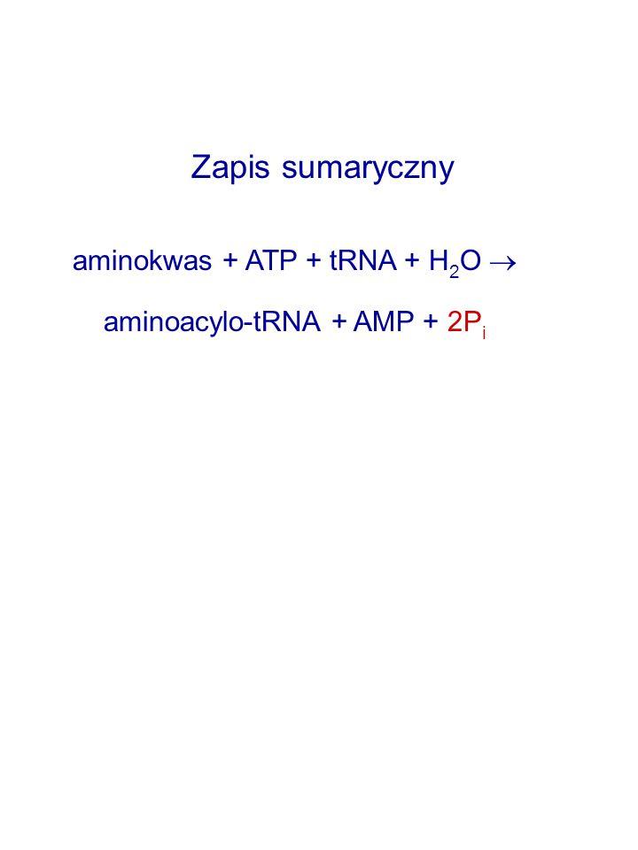 Zapis sumaryczny aminokwas + ATP + tRNA + H 2 O  aminoacylo-tRNA + AMP + 2P i