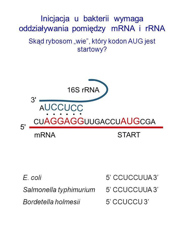 """Inicjacja u bakterii wymaga oddziaływania pomiędzy mRNA i rRNA Skąd rybosom """"wie"""", który kodon AUG jest startowy? E. coli 5' CCUCCUUA 3' Salmonella ty"""
