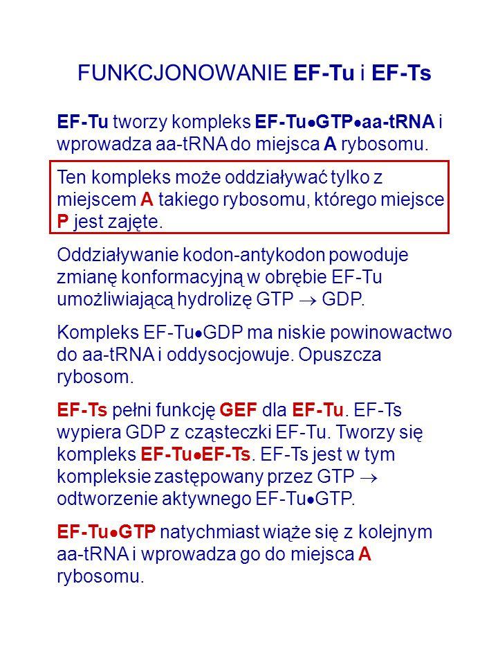 FUNKCJONOWANIE EF-Tu i EF-Ts EF-Tu tworzy kompleks EF-Tu  GTP  aa-tRNA i wprowadza aa-tRNA do miejsca A rybosomu. Ten kompleks może oddziaływać tylk