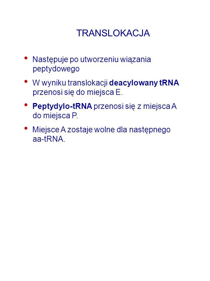 TRANSLOKACJA Następuje po utworzeniu wiązania peptydowego W wyniku translokacji deacylowany tRNA przenosi się do miejsca E. Peptydylo-tRNA przenosi si
