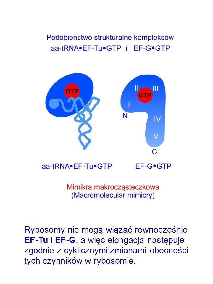 Rybosomy nie mogą wiązać równocześnie EF-Tu i EF-G, a więc elongacja następuje zgodnie z cyklicznymi zmianami obecności tych czynników w rybosomie.