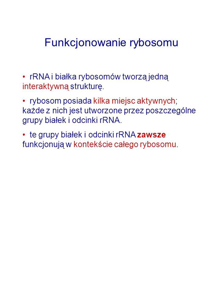Funkcjonowanie rybosomu rRNA i białka rybosomów tworzą jedną interaktywną strukturę. rybosom posiada kilka miejsc aktywnych; każde z nich jest utworzo