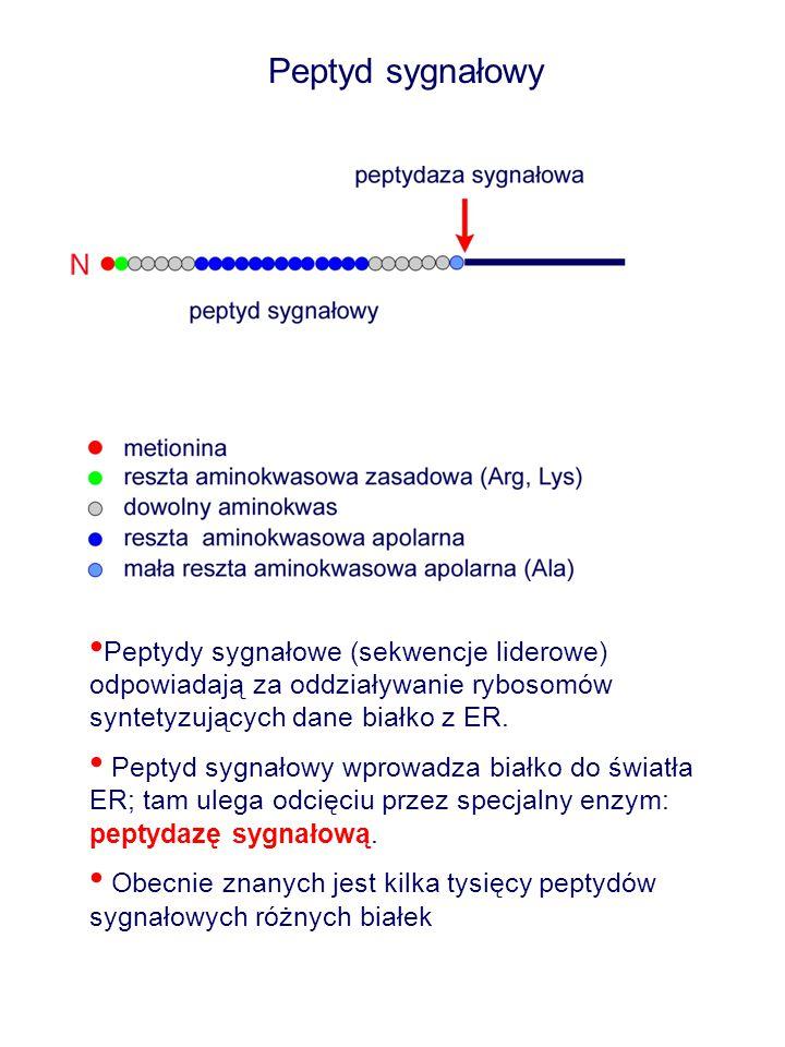 Peptyd sygnałowy Peptydy sygnałowe (sekwencje liderowe) odpowiadają za oddziaływanie rybosomów syntetyzujących dane białko z ER. Peptyd sygnałowy wpro