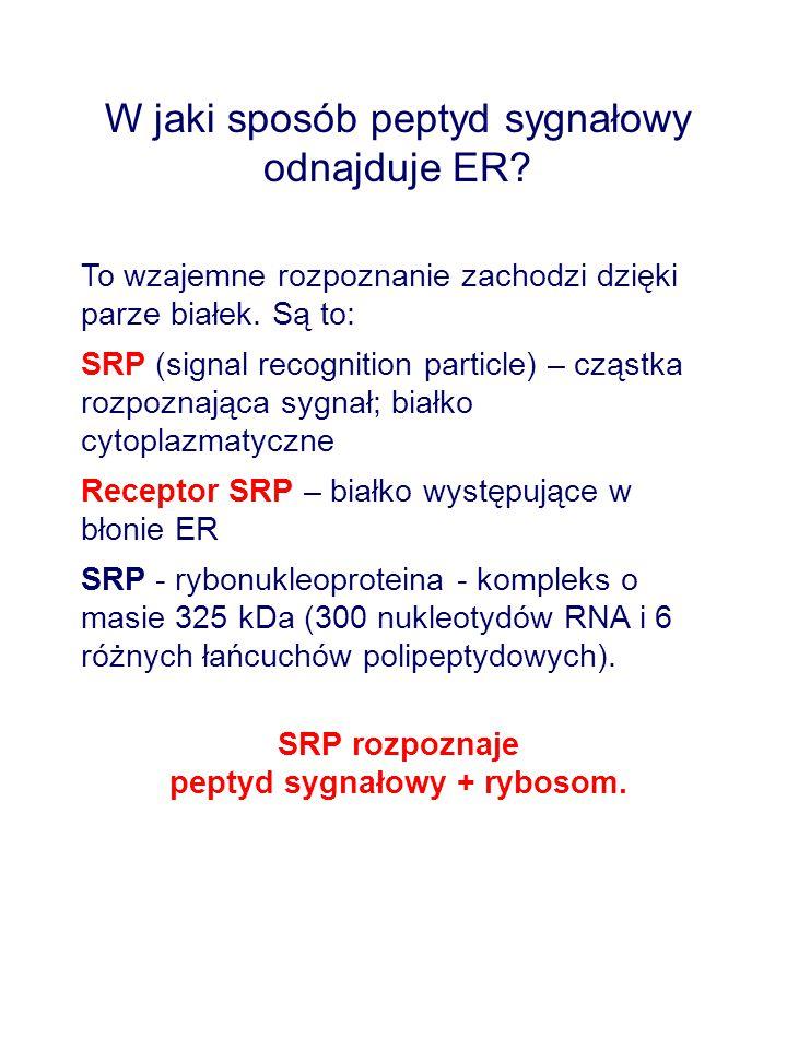 W jaki sposób peptyd sygnałowy odnajduje ER? To wzajemne rozpoznanie zachodzi dzięki parze białek. Są to: SRP (signal recognition particle) – cząstka