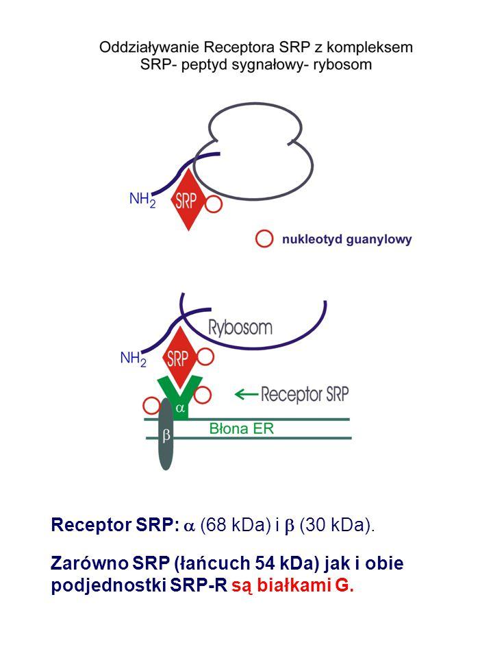 Receptor SRP:  (68 kDa) i  (30 kDa). Zarówno SRP (łańcuch 54 kDa) jak i obie podjednostki SRP-R są białkami G.
