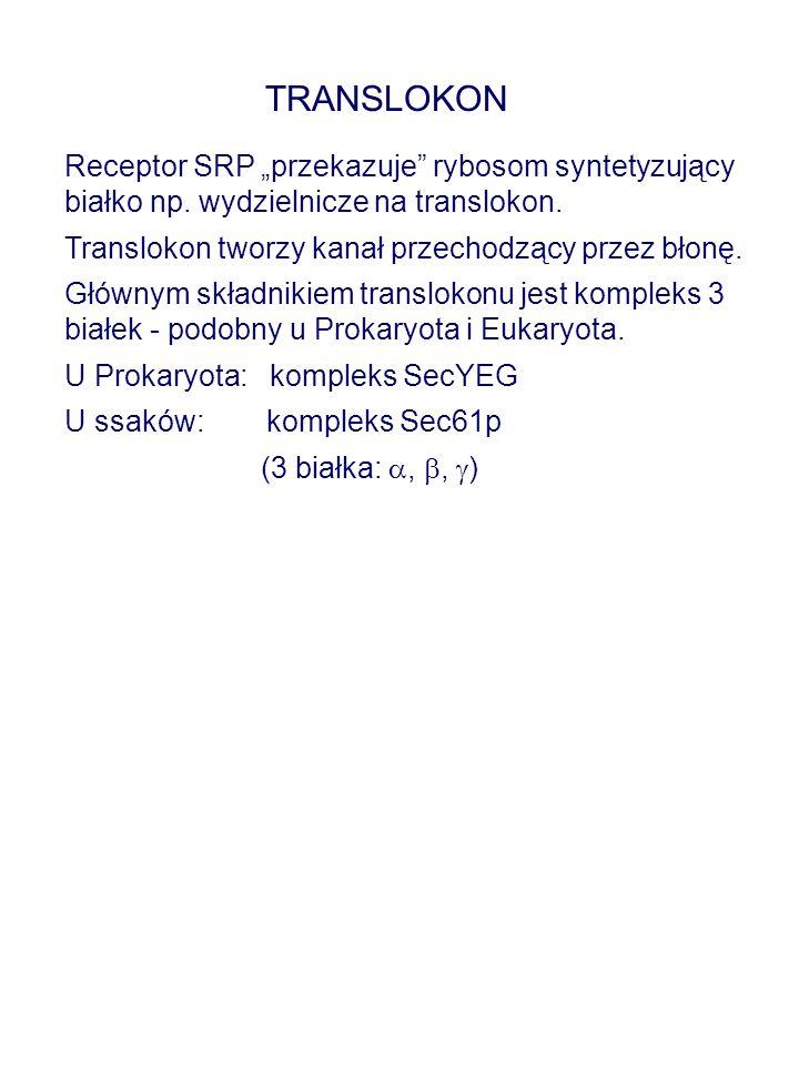 """Receptor SRP """"przekazuje"""" rybosom syntetyzujący białko np. wydzielnicze na translokon. Translokon tworzy kanał przechodzący przez błonę. Głównym skład"""