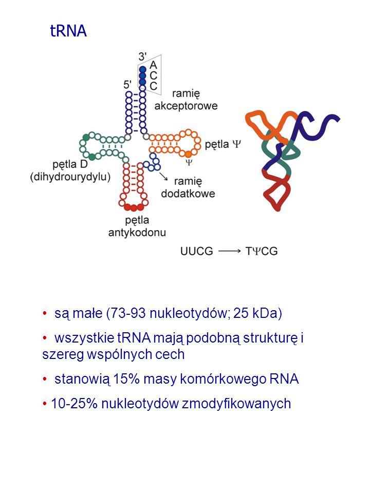 są małe (73-93 nukleotydów; 25 kDa) wszystkie tRNA mają podobną strukturę i szereg wspólnych cech stanowią 15% masy komórkowego RNA 10-25% nukleotydów