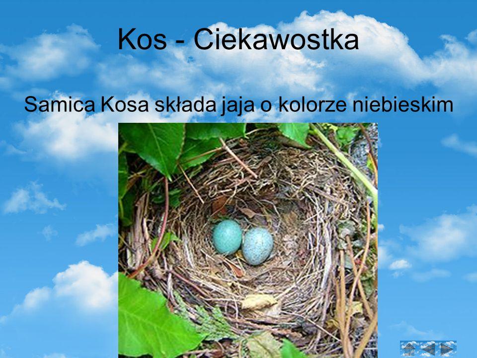 Kos - Ciekawostka Samica Kosa składa jaja o kolorze niebieskim