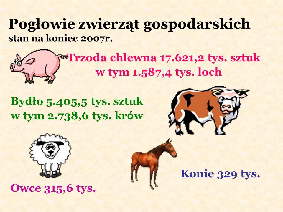Pogłowie zwierząt gospodarskich stan na koniec 2007r. Trzoda chlewna 17.621,2 tys. sztuk w tym 1.587,4 tys. loch Bydło 5.405,5 tys. sztuk w tym 2.738,