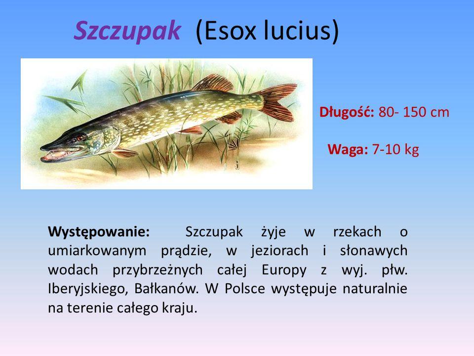 Szczupak (Esox lucius) Długość: 80- 150 cm Waga: 7-10 kg Występowanie: Szczupak żyje w rzekach o umiarkowanym prądzie, w jeziorach i słonawych wodach
