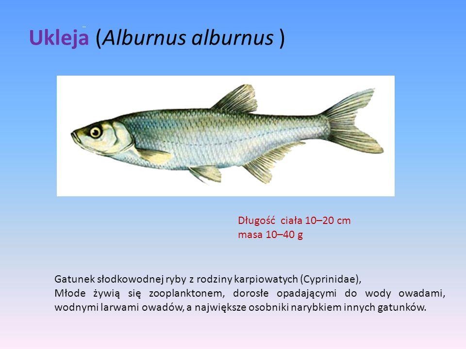 Ukleja (Alburnus alburnus ) Gatunek słodkowodnej ryby z rodziny karpiowatych (Cyprinidae), Młode żywią się zooplanktonem, dorosłe opadającymi do wody