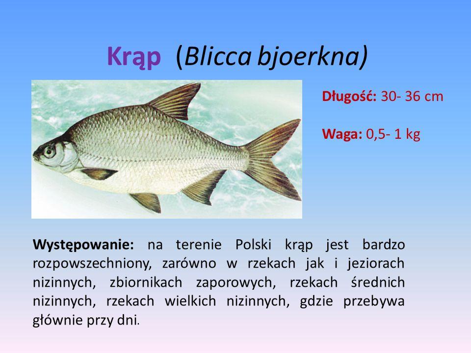 Krąp (Blicca bjoerkna) Długość: 30- 36 cm Waga: 0,5- 1 kg Występowanie: na terenie Polski krąp jest bardzo rozpowszechniony, zarówno w rzekach jak i j