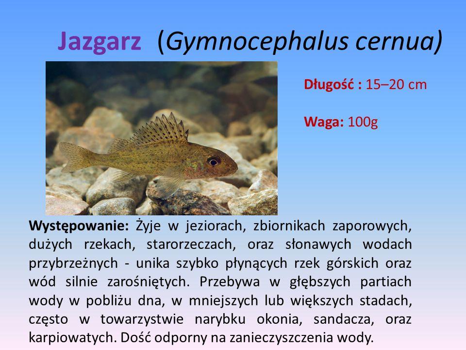 Jazgarz (Gymnocephalus cernua) Długość : 15–20 cm Waga: 100g Występowanie: Żyje w jeziorach, zbiornikach zaporowych, dużych rzekach, starorzeczach, or