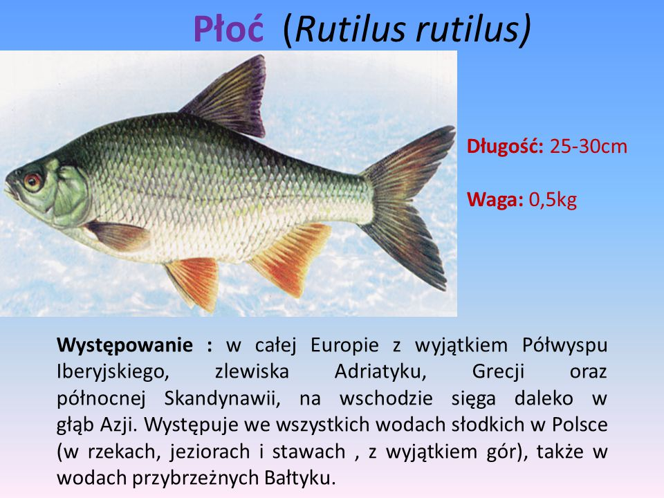 Płoć (Rutilus rutilus) Występowanie : w całej Europie z wyjątkiem Półwyspu Iberyjskiego, zlewiska Adriatyku, Grecji oraz północnej Skandynawii, na wsc