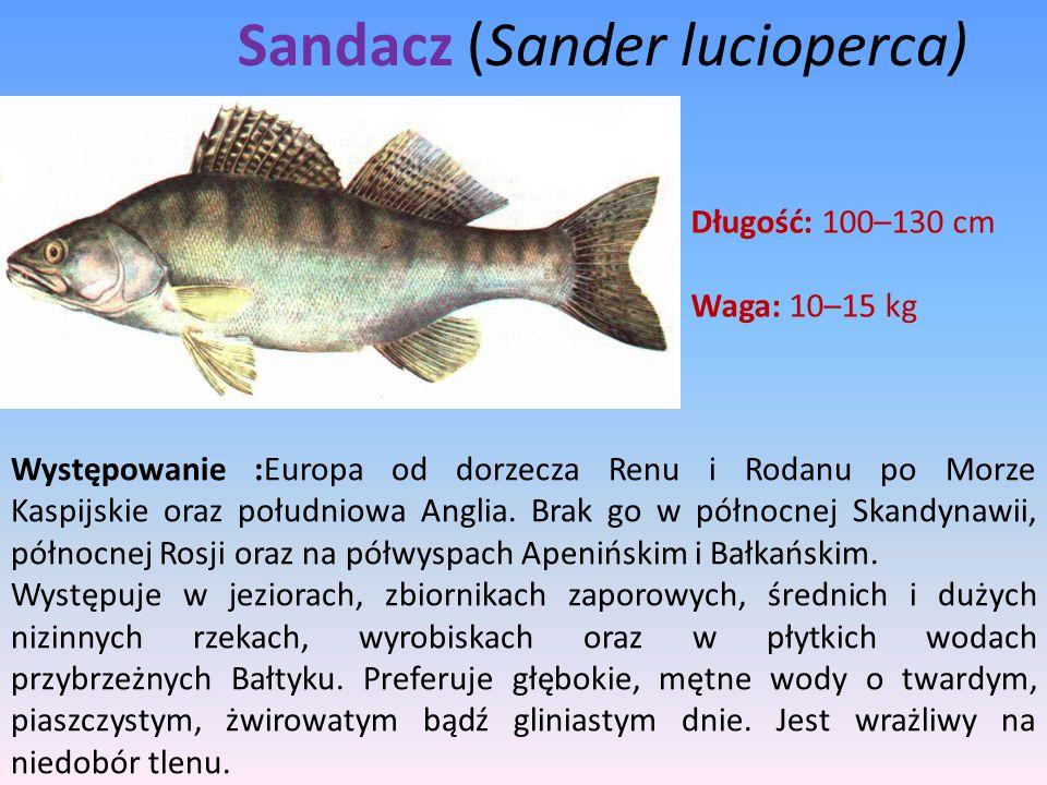 Sandacz (Sander lucioperca) Długość: 100–130 cm Waga: 10–15 kg Występowanie :Europa od dorzecza Renu i Rodanu po Morze Kaspijskie oraz południowa Angl