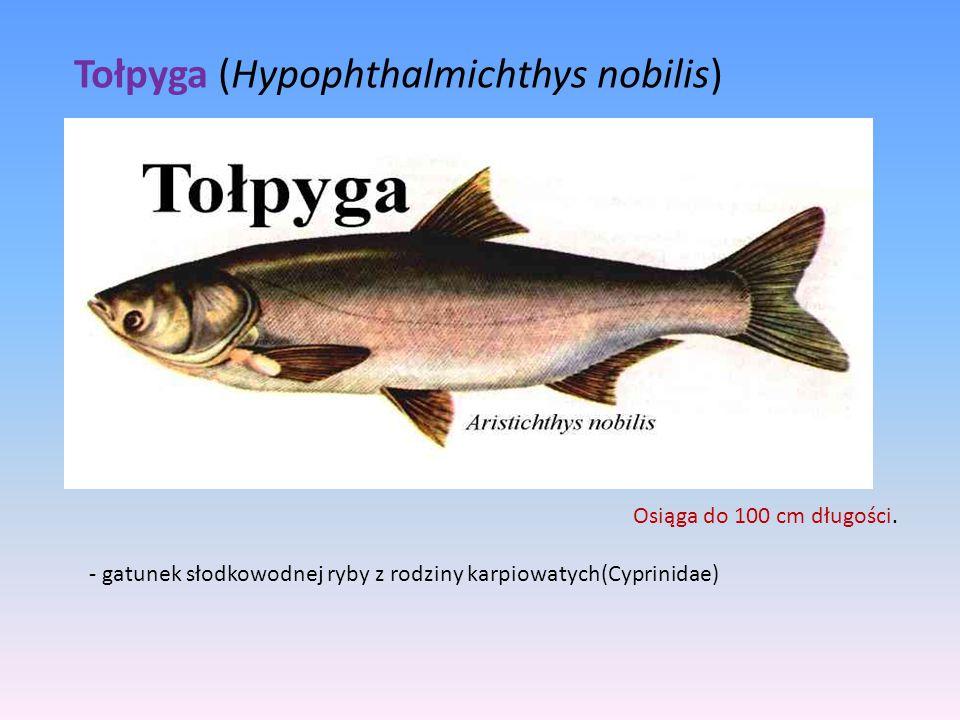 - gatunek słodkowodnej ryby z rodziny karpiowatych(Cyprinidae) Tołpyga (Hypophthalmichthys nobilis) Osiąga do 100 cm długości.