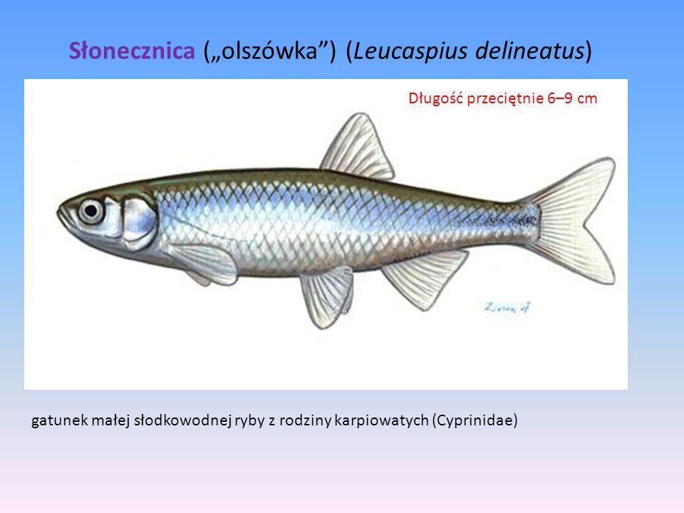 """Słonecznica (""""olszówka"""") (Leucaspius delineatus) gatunek małej słodkowodnej ryby z rodziny karpiowatych (Cyprinidae) Długość przeciętnie 6–9 cm"""