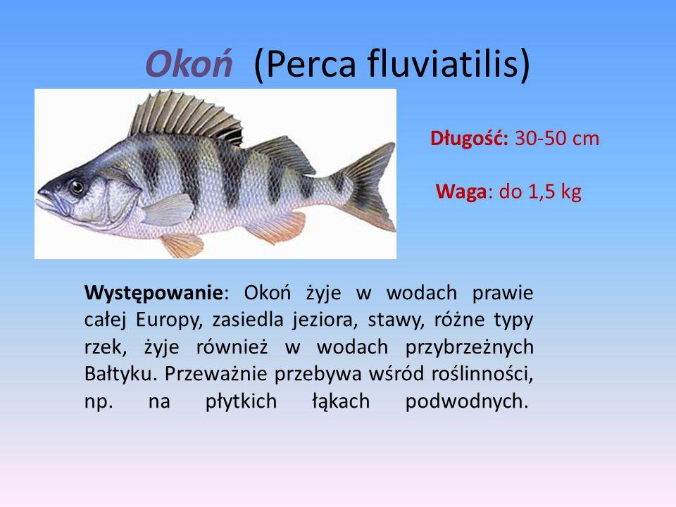 Okoń (Perca fluviatilis) Długość: 30-50 cm Waga: do 1,5 kg Występowanie: Okoń żyje w wodach prawie całej Europy, zasiedla jeziora, stawy, różne typy r