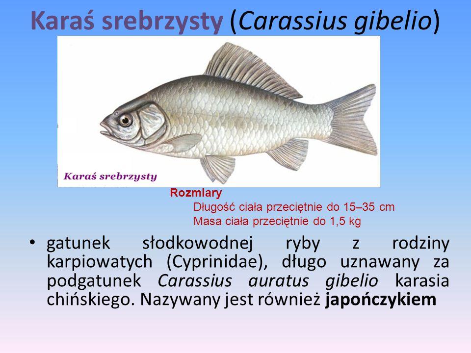 Karaś srebrzysty (Carassius gibelio) gatunek słodkowodnej ryby z rodziny karpiowatych (Cyprinidae), długo uznawany za podgatunek Carassius auratus gib
