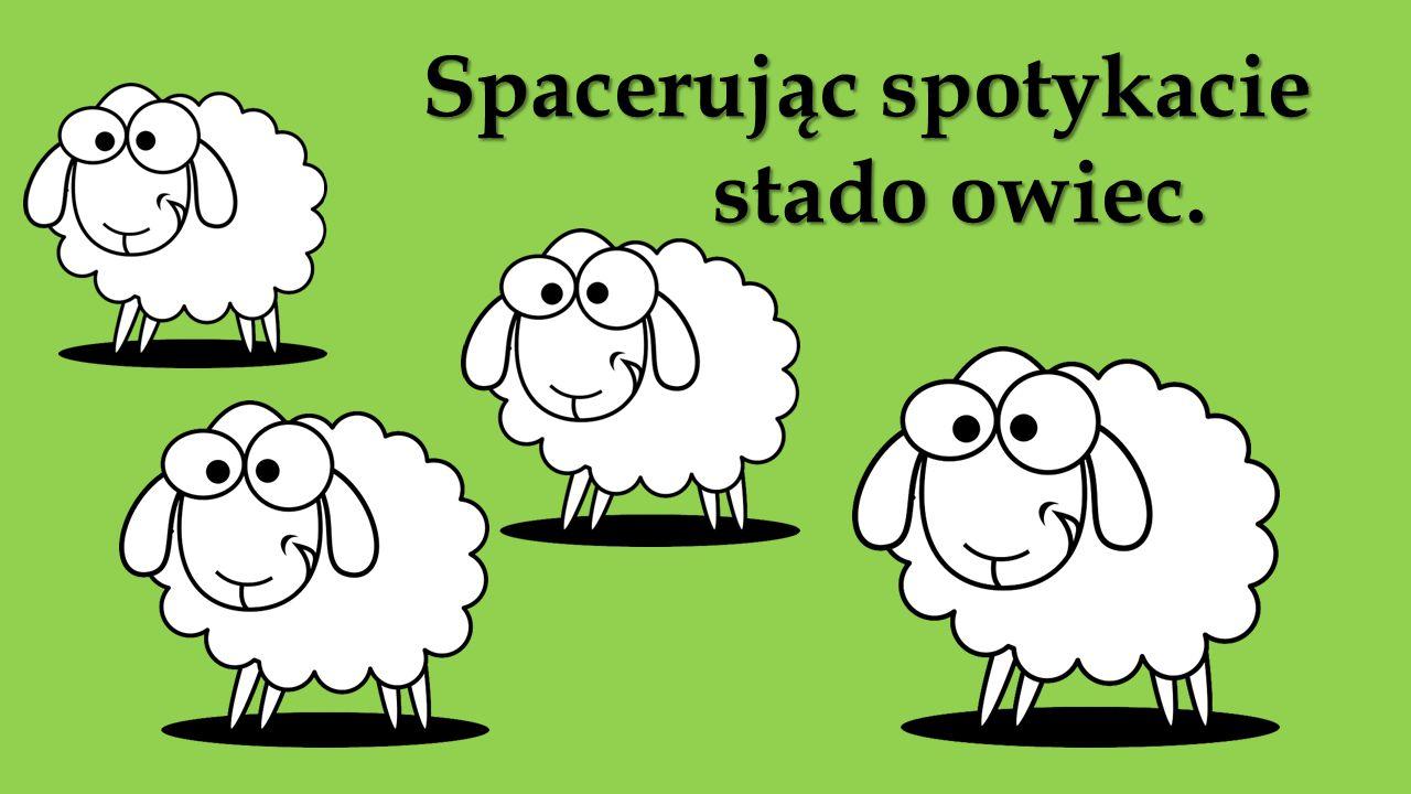 Spacerując spotykacie stado owiec.