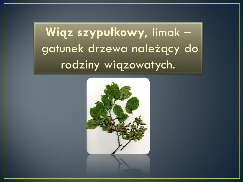 Wiąz szypułkowy, limak – gatunek drzewa należący do rodziny wiązowatych.