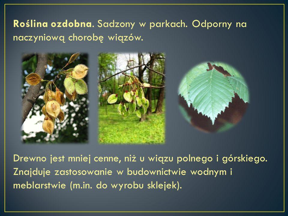 Roślina ozdobna. Sadzony w parkach. Odporny na naczyniową chorobę wiązów. Drewno jest mniej cenne, niż u wiązu polnego i górskiego. Znajduje zastosowa