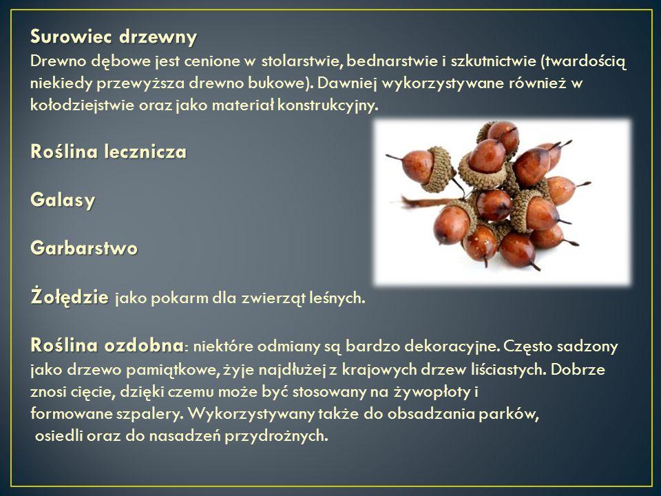 Surowiec drzewny Drewno dębowe jest cenione w stolarstwie, bednarstwie i szkutnictwie (twardością niekiedy przewyższa drewno bukowe). Dawniej wykorzys