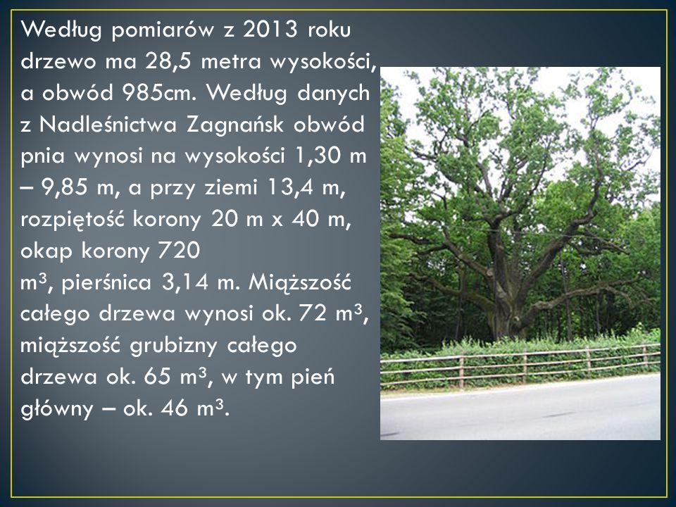 Według pomiarów z 2013 roku drzewo ma 28,5 metra wysokości, a obwód 985cm. Według danych z Nadleśnictwa Zagnańsk obwód pnia wynosi na wysokości 1,30 m