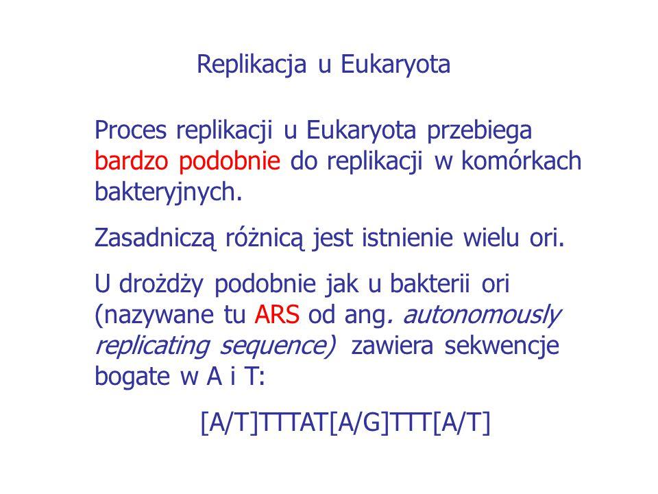 Replikacja u Eukaryota Proces replikacji u Eukaryota przebiega bardzo podobnie do replikacji w komórkach bakteryjnych. Zasadniczą różnicą jest istnien