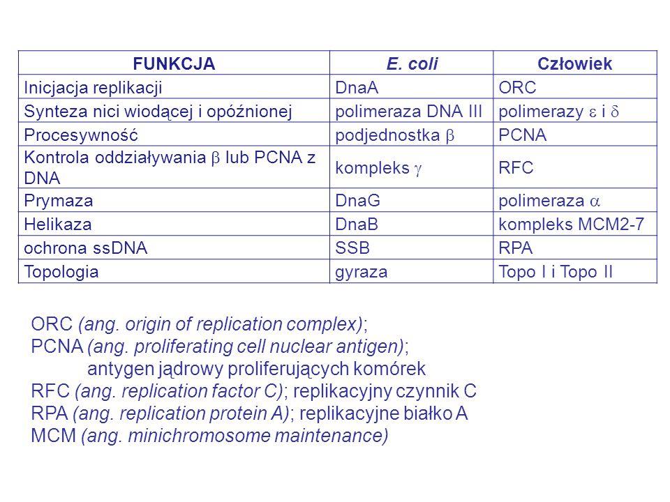 FUNKCJAE. coliCzłowiek Inicjacja replikacjiDnaAORC Synteza nici wiodącej i opóźnionejpolimeraza DNA III polimerazy  i  Procesywność podjednostka  P