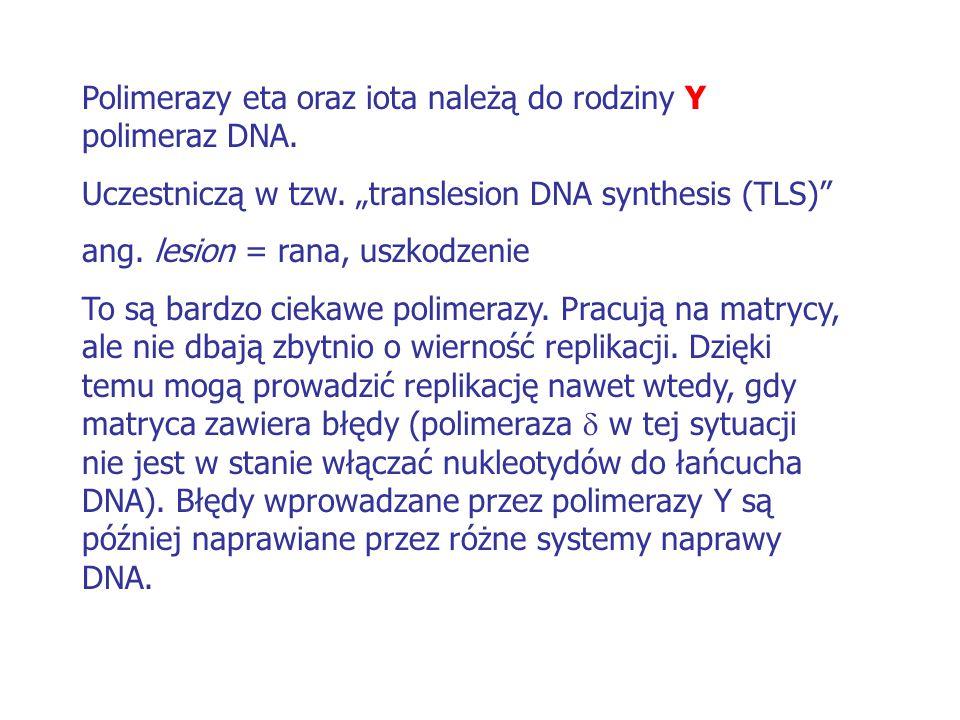 """Polimerazy eta oraz iota należą do rodziny Y polimeraz DNA. Uczestniczą w tzw. """"translesion DNA synthesis (TLS)"""" ang. lesion = rana, uszkodzenie To są"""