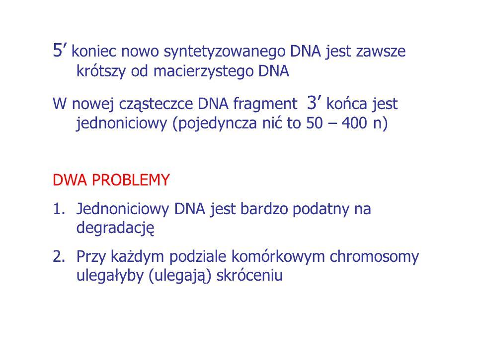 5' koniec nowo syntetyzowanego DNA jest zawsze krótszy od macierzystego DNA W nowej cząsteczce DNA fragment 3' końca jest jednoniciowy (pojedyncza nić