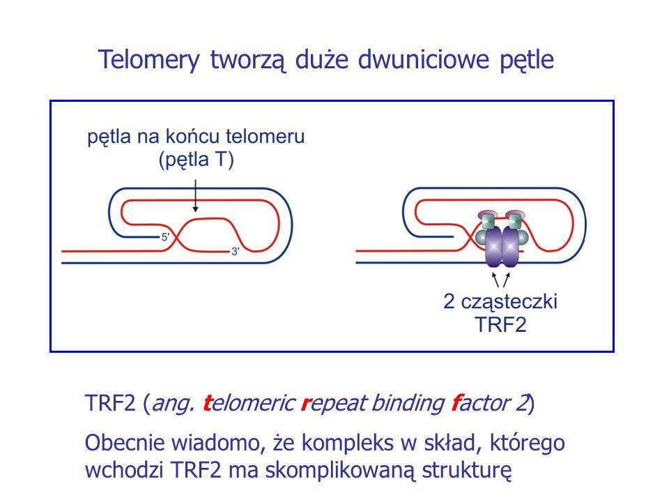 Telomery tworzą duże dwuniciowe pętle TRF2 (ang. telomeric repeat binding factor 2) Obecnie wiadomo, że kompleks w skład, którego wchodzi TRF2 ma skom