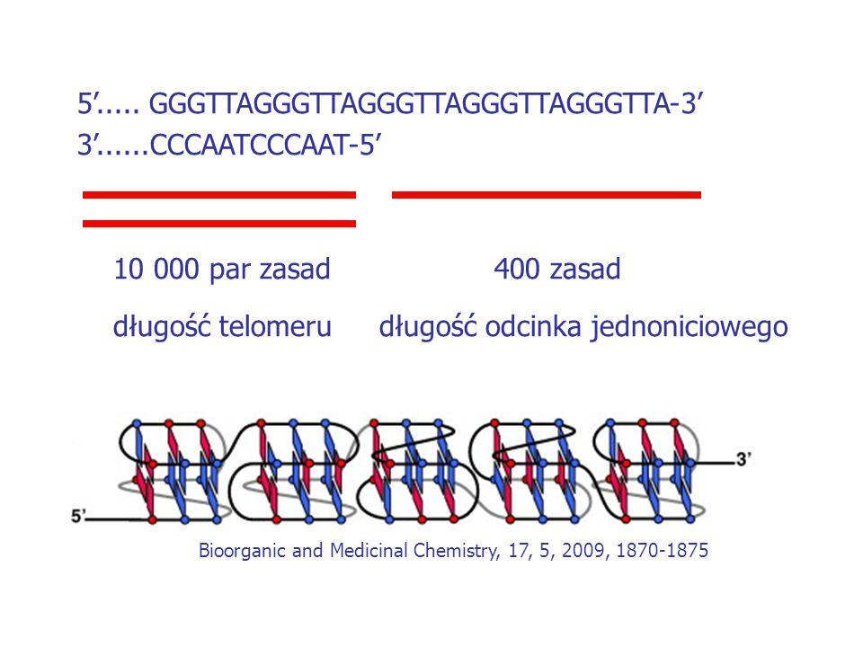 5'..... GGGTTAGGGTTAGGGTTAGGGTTAGGGTTA-3' 3'......CCCAATCCCAAT-5' 10 000 par zasad400 zasad długość telomerudługość odcinka jednoniciowego Bioorganic