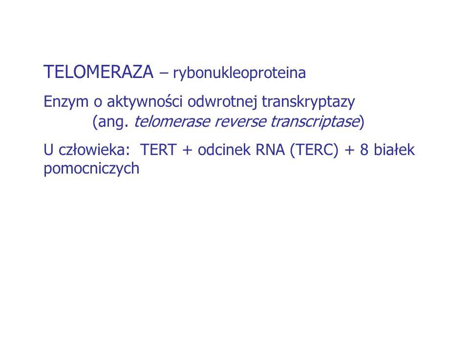 TELOMERAZA – rybonukleoproteina Enzym o aktywności odwrotnej transkryptazy (ang. telomerase reverse transcriptase) U człowieka: TERT + odcinek RNA (TE