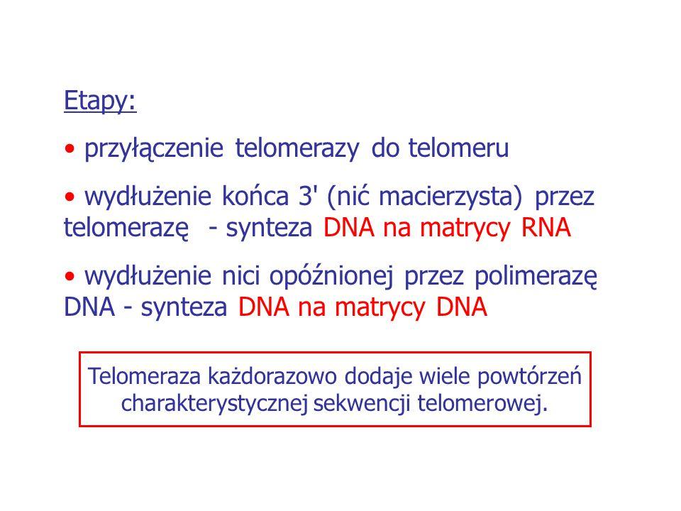 Etapy: przyłączenie telomerazy do telomeru wydłużenie końca 3' (nić macierzysta) przez telomerazę - synteza DNA na matrycy RNA wydłużenie nici opóźnio