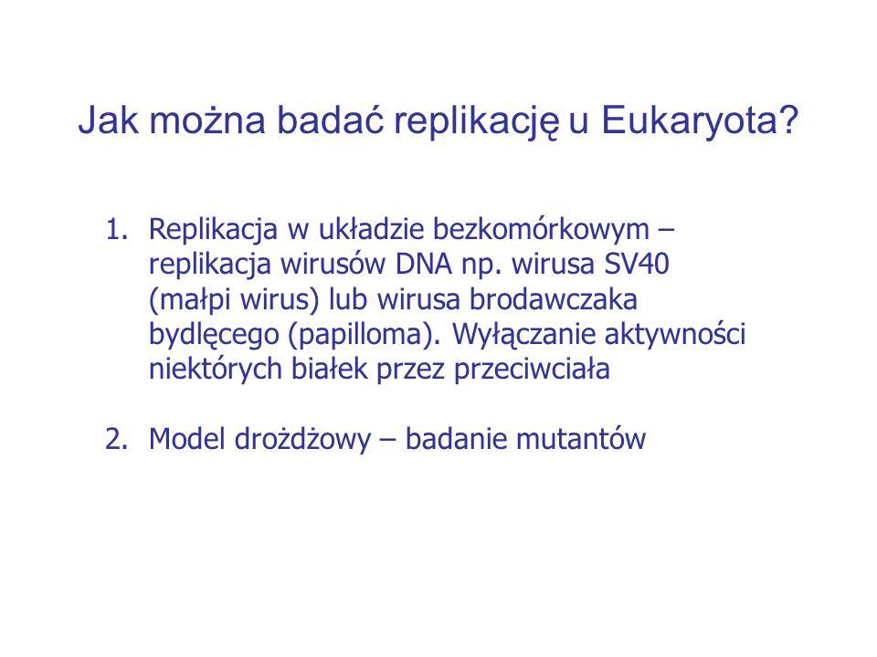 Jak można badać replikację u Eukaryota? 1.Replikacja w układzie bezkomórkowym – replikacja wirusów DNA np. wirusa SV40 (małpi wirus) lub wirusa brodaw