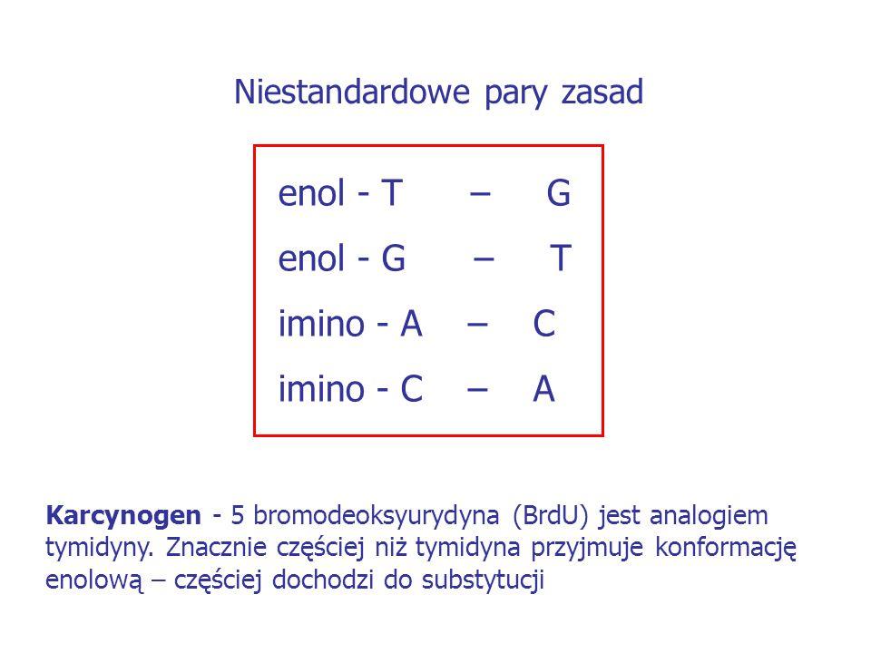 enol - T – G enol - G – T imino - A – C imino - C – A Niestandardowe pary zasad Karcynogen - 5 bromodeoksyurydyna (BrdU) jest analogiem tymidyny. Znac