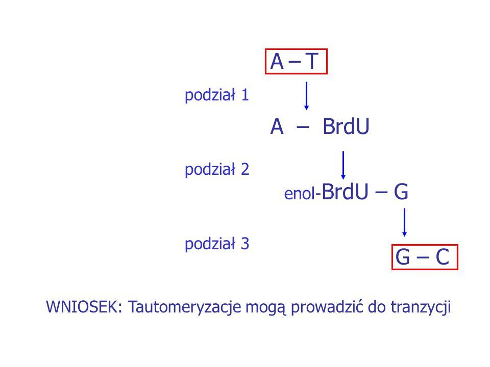 A – T A – BrdU enol - BrdU – G G – C podział 1 podział 2 podział 3 WNIOSEK: Tautomeryzacje mogą prowadzić do tranzycji