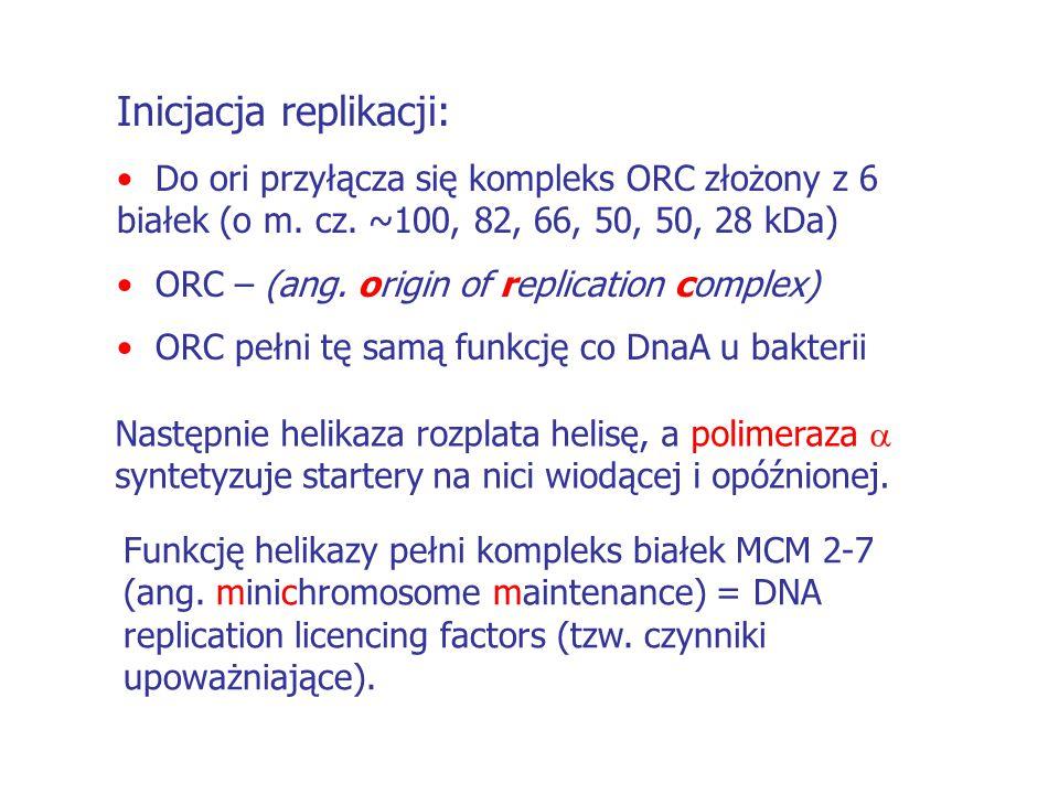 POLIMERAZA  Składa się z czterech podjednostek: Podjednostka 180 kDa – aktywność polimerazy DNA Podjednostki 55 kDa i 48 kDa – tworzą razem prymazę (polimeraza RNA).