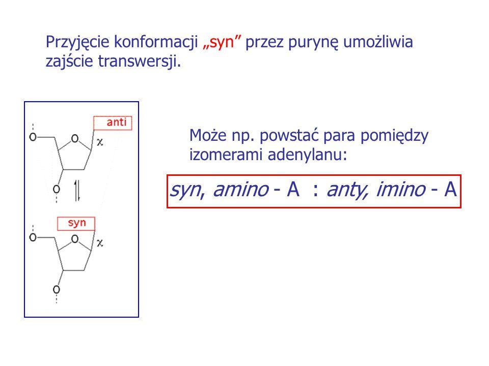 """Przyjęcie konformacji """"syn"""" przez purynę umożliwia zajście transwersji. Może np. powstać para pomiędzy izomerami adenylanu: syn, amino - A : anty, imi"""