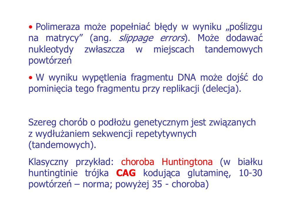 """Polimeraza może popełniać błędy w wyniku """"poślizgu na matrycy"""" (ang. slippage errors). Może dodawać nukleotydy zwłaszcza w miejscach tandemowych powtó"""
