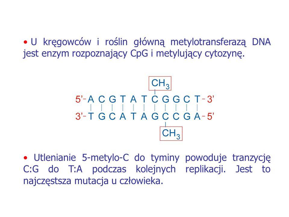 U kręgowców i roślin główną metylotransferazą DNA jest enzym rozpoznający CpG i metylujący cytozynę. Utlenianie 5-metylo-C do tyminy powoduje tranzycj