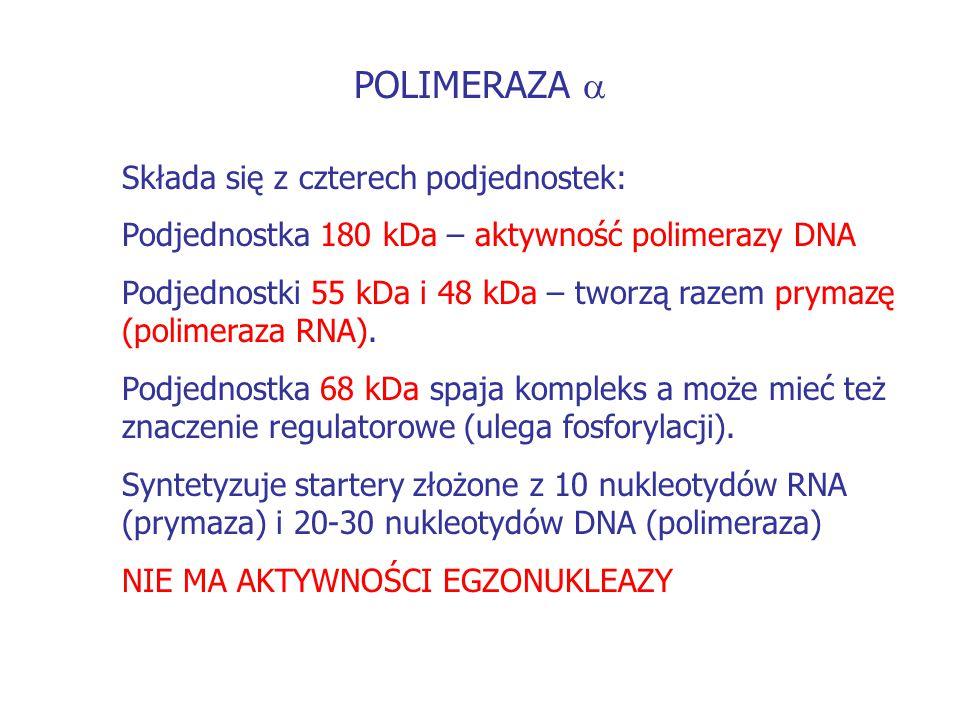 POLIMERAZA  Składa się z czterech podjednostek: Podjednostka 180 kDa – aktywność polimerazy DNA Podjednostki 55 kDa i 48 kDa – tworzą razem prymazę (
