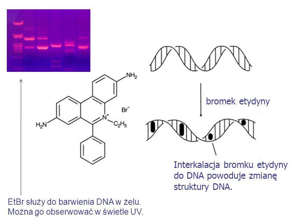 bromek etydyny Interkalacja bromku etydyny do DNA powoduje zmianę struktury DNA. EtBr służy do barwienia DNA w żelu. Można go obserwować w świetle UV.