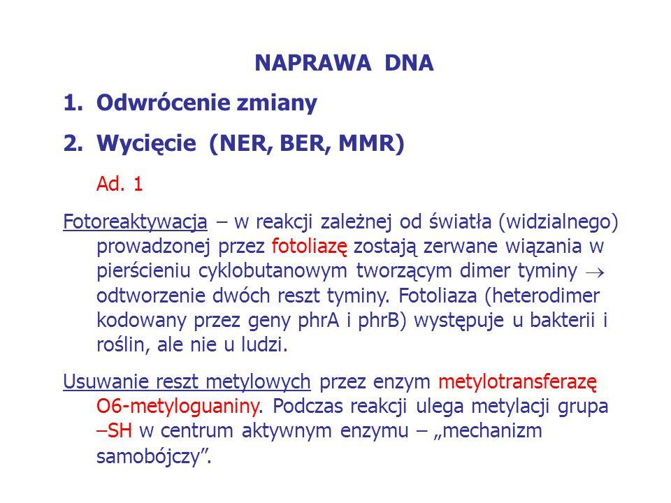 NAPRAWA DNA 1.Odwrócenie zmiany 2.Wycięcie (NER, BER, MMR) Ad. 1 Fotoreaktywacja – w reakcji zależnej od światła (widzialnego) prowadzonej przez fotol