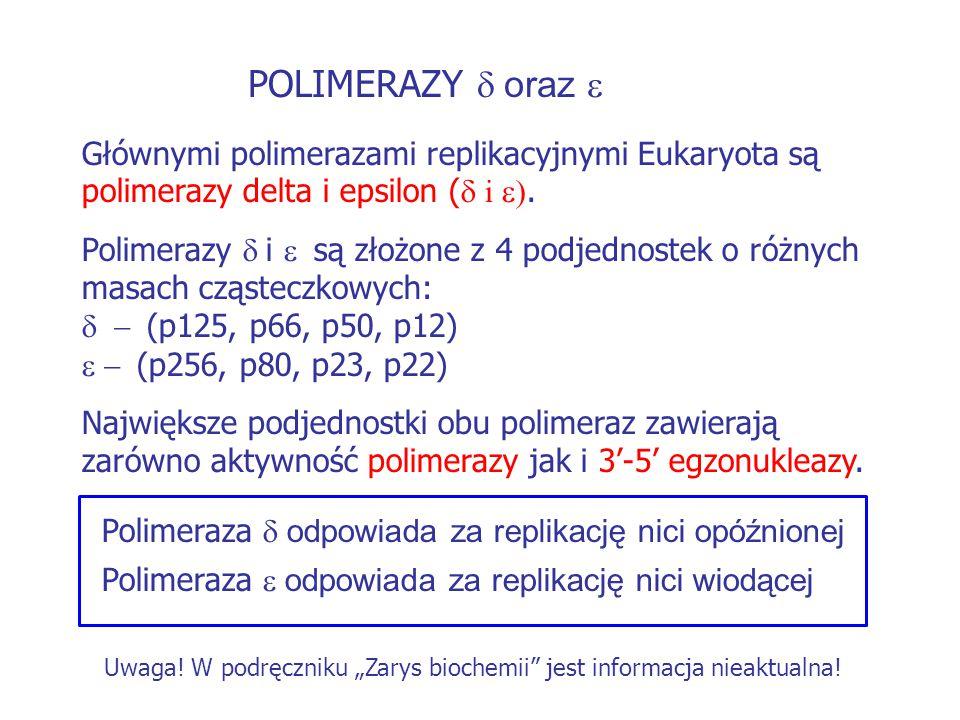 POLIMERAZY  oraz  Głównymi polimerazami replikacyjnymi Eukaryota są polimerazy delta i epsilon (  i . Polimerazy  i  są złożone z 4 podj