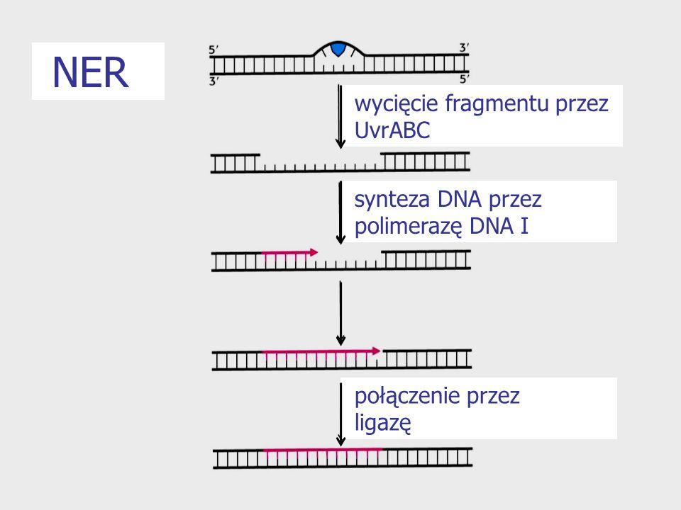 wycięcie fragmentu przez UvrABC synteza DNA przez polimerazę DNA I połączenie przez ligazę NER